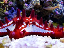 Red Knobbed Starfish In Aquarium