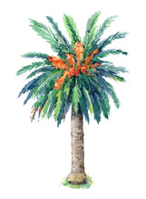 Canary Island Date Palm Isolated On White Background. Hand Painted In Watercolor.