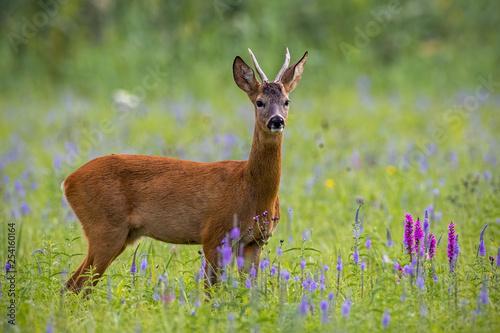 Poster Hert Roe deer, capreolus capreolus, buck in summer on a meadow full of flowers. Roebuck at sunset. Wild animal in natural environment. Cute wild male deer.