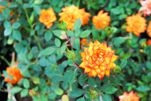 Top View Colorful Orange Or Yellow Rose Blooming And Bud With Green Leaves In Garden