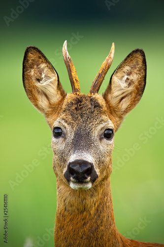 Foto op Plexiglas Ree Portrait of cute roe deer, capreolus capreolus, buck in summer. Wildlife scenery of deer with vivid green blurred background. Wild animal during a fresh summer. Vertically composed close-up of animal.