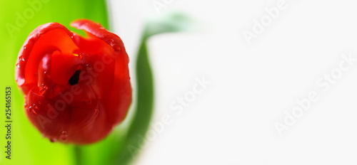 Printed kitchen splashbacks Tulip Spring. Red tulip in dew drops, background for banner. Sunlight, panoramic view, copy space