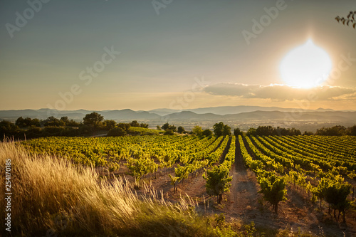 Poster Miel Vineyard at sunset. A plantation of grapevines. Hilly mediterranean landscape, south France, Europe