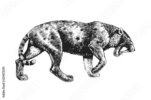 Valokuva  Saber tooth cat drawing