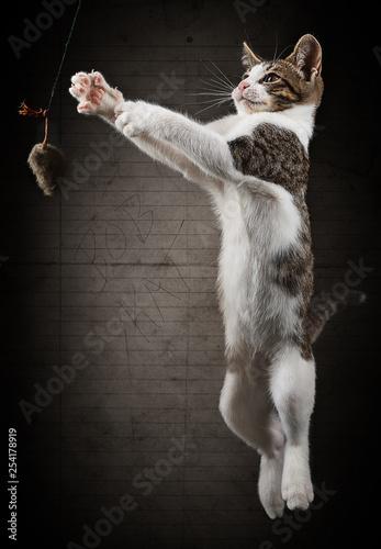 Canvas Prints Cat Bob Kat