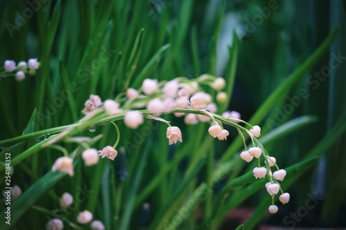 Muguet de mai Lily of the valley
