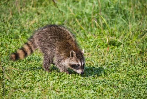 Fotografie, Obraz  raccoon in field