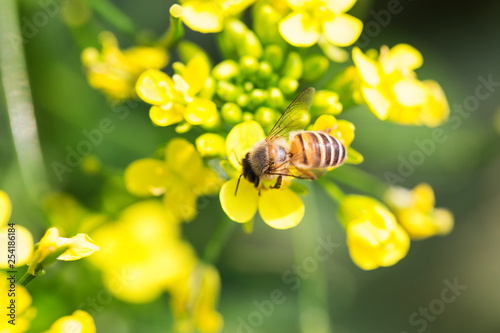Spoed Foto op Canvas Bee Honey bee collecting pollen on canola flower