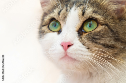 Fototapety, obrazy: beautiful domestic cat with big green eyes