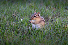 Least Chipmunk In Grass