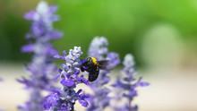 Bee On A Victoria Blue Salvia Plants Flower