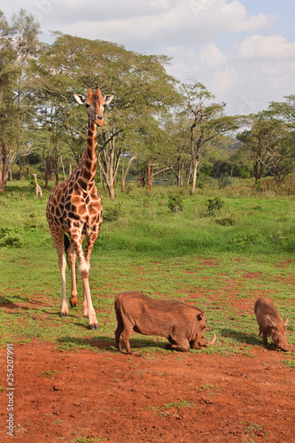 giraffe in kenya Wallpaper Mural