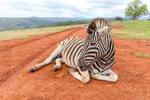 Plains Zebra Close Up Lying Do...