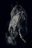 Portret piękny czarny ogier na czarnym tle - 254221567