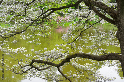 Flowering Dogwood By The Water, Spring Background #254225332