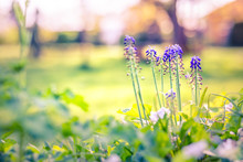 Spring Flowers Concept Muscari Flower. Grape Hyacinths. Muscari Flowers In Warm Sunshine On A Blurred Background.