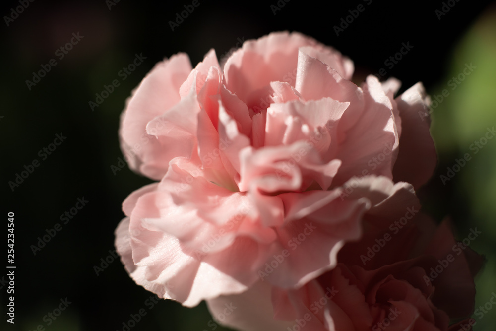 Goździk kwiat jasny róż makro płatek - obrazy, fototapety, plakaty