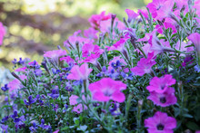 Pink Geraniums, Petunias And Blue Lobelia Flowers Bloom In A Summer Garden