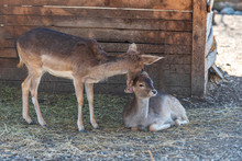 Motherly Love. Red Deer Doe Appears To Be Kissing Her Fawn
