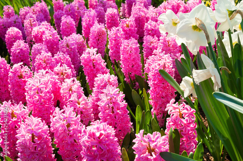 Blooming pink hyacinth flowers and white narcissus in spring