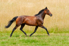 German Trotter, Horse Breed, R...
