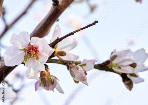 Photo  Almond blossom