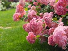 Hydrangea Arborescens 'Invinci...