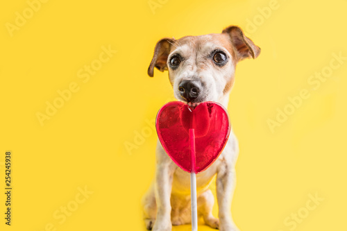 In de dag Hert Adorable Sweets eating funny dog on bright yellow background. Hert shaped red candy lollipop. sweet tooth pet