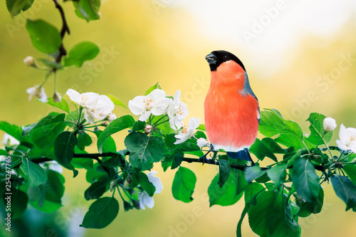 Canvas-taulu spring natural background with little cute red bird bullfinch sitting in may gar