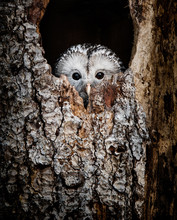 Ural Owl Hidden In A Tree Hole Looking Out Curiously - National Park Bavarian Forest - Germany