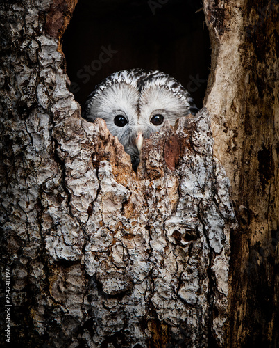 Fotobehang Uil Ural Owl hidden in a tree hole looking out curiously - National Park Bavarian Forest - Germany