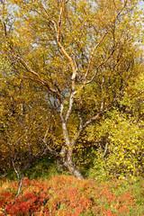 Panel Szklany Drzewa die Farben des Herbstes, Island