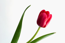 Red Tulip Isolated On White Background.