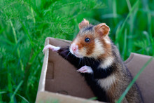 European Hamster In A Box Being Released
