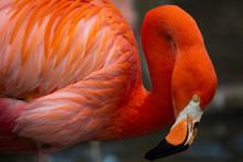 Flamenco Rojo. Detalle