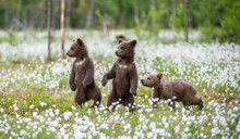 Brown Bear Cubs Playing On The...