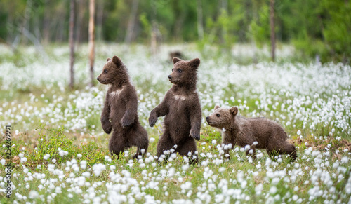 Brown bear cubs playing on the field among white flowers Wallpaper Mural