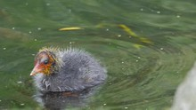 Baby Coot Bird Alone Waiting For Parents To Bring Food