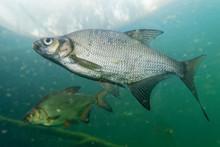 Aral Bream - Abramis Brama The Common Bream, Freshwater Bream, Bream, Bronze Bream Or Carp Bream Is A European Species Of Freshwater Fish In The Family Cyprinidae