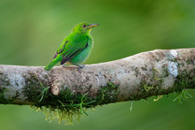 Green Honeycreeper - Chlorophanes Spiza, Small Bird In The Tanager Family