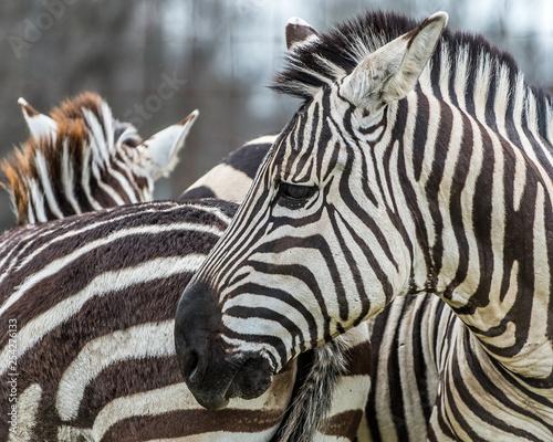 Zebra stripes and design patterns Canvas Print