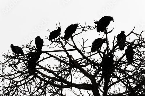Fotografering  Gallinazos en copa de árbol