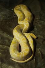 Burmese Python (Python Bivitta...