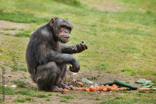 Common chimpanzee (Pan troglodytes) Wallpaper Mural