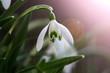 canvas print picture - Wallpaper Macro photography of a dandelion in Spring with sunset/ Makro Nahaufnahme eines Schneeglöckchens im Frühling beim Sonnenuntergang
