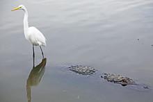 Snowy Egret Riding Alligator, ...