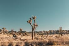 Golden Hour - Joshua Tree National Park - California