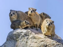 Rock Or Cape Hyrax (Procavia Capensis), Mapungubwe National Park, Limpopo, South Africa, Africa
