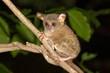 Sulawesi-Tarsier (Tarsius tarsier) sits on branch, endemic, island Selayar, South Sulawesi, Indonesia, Asia