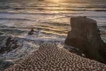 Australasian Gannet (Morus Serrator) Colony On Rocks, Sonnenunergang, Muriwai Beach, Auckland, North Island, New Zealand, Oceania